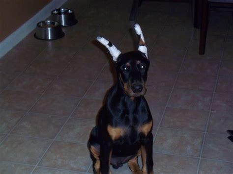 puppy ear cropping near me ear flop im freaking out doberman forum doberman breed forums