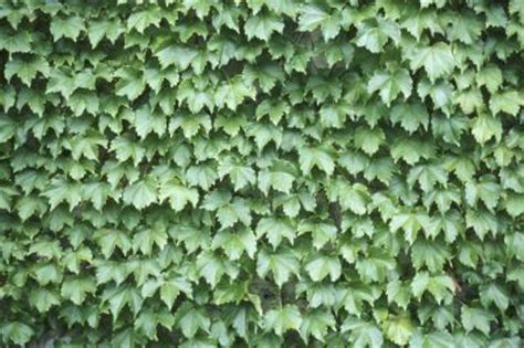 evergreen climbing plants for screening the best evergreen vines ehow uk