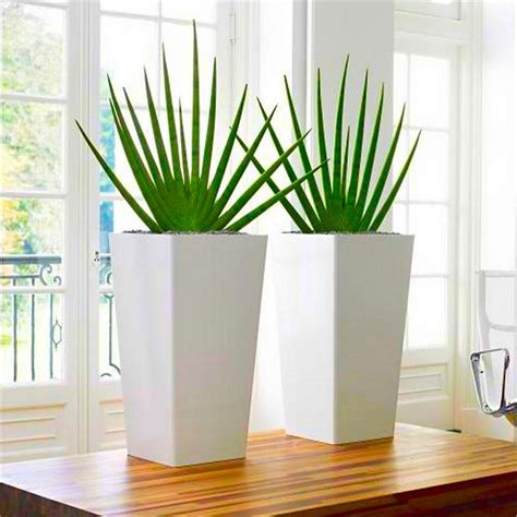 pair  large sansevieria cylindrica fans contemporary