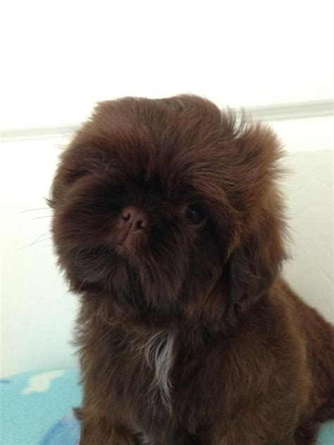shih tzu brown kc chocolate orange shih tzu boy imperial lines dorchester dorset pets4homes