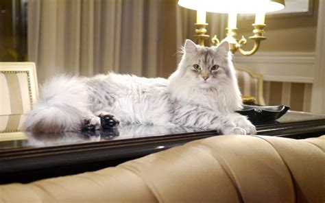 damman amur elevage de chats siberiens en france