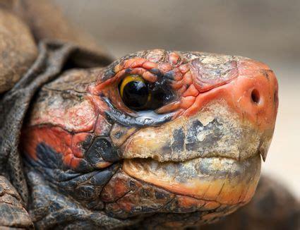 hermanns tortoise testudo hermanni exotic pets