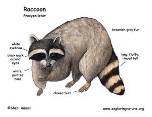 what color are raccoons raccoon