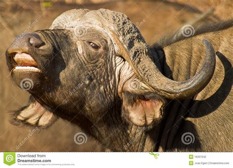 african buffalo  open mouth stock photography image