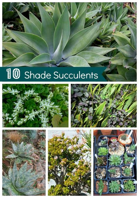 drought tolerant garden shade succulents forty acres