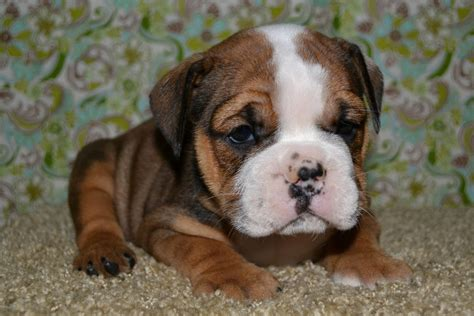 bulldogge puppies valley bulldog boxer bulldog mix info temperament puppies pictures