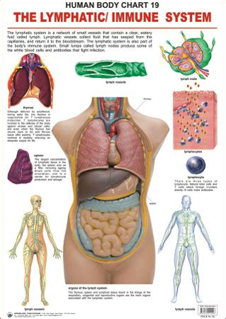 Can Detox Weaken Your Immune System by Image Gallery Lymphatic Immune System