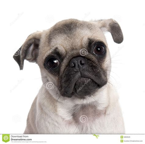 5 month pug puppy up on a pug puppy 5 months stock photo image 9893520