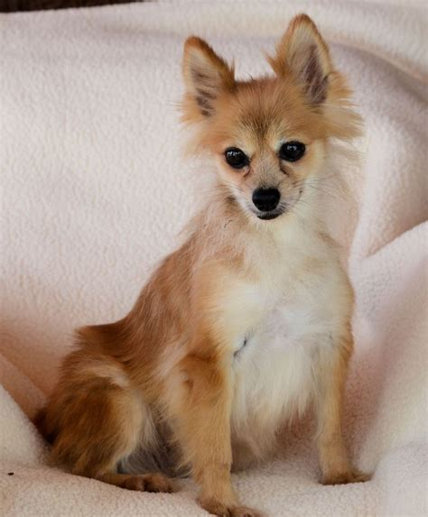 E Para Adocao From The Adoptable Pets Photo Pool by Pomeranian For Adoption In Bon Carbo Co Adn 634005
