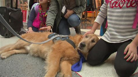 abc golden retrievers review golden retrievers help travelers relieve stress at o hare abc7ny