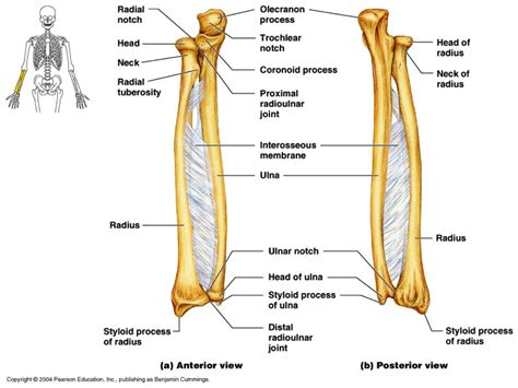 radius and ulna diagram limbs biology 209 with allen at brenau