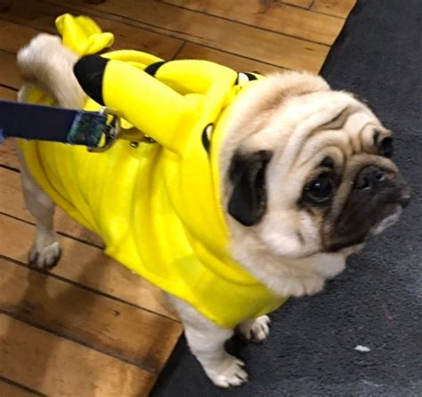 pug grumble photos of my with amazing dogs in costumes at cool in toronto
