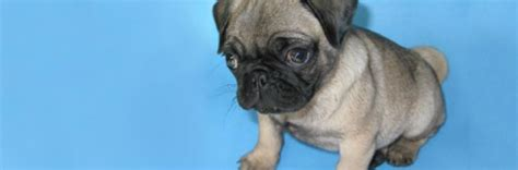 pug features the pug an exle of exaggerated features rspca australia