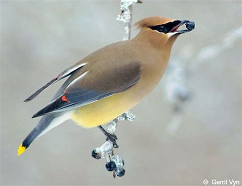 cedar waxwing diet in captivity computinginter