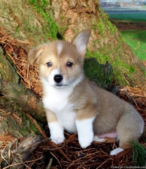oregon puppies for sale 17 of 2017 s best corgi puppies for sale ideas on corgi dogs for sale