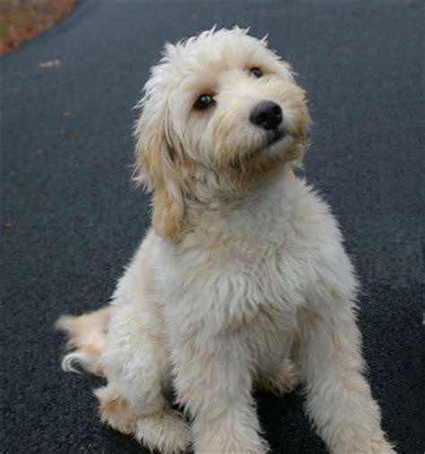 goldendoodle puppy timeline goldendoodle pictures itcesasquez