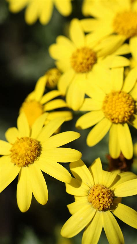 iphone wallpaper yellow flowers cute yellow flower iphone 6s wallpapers hd