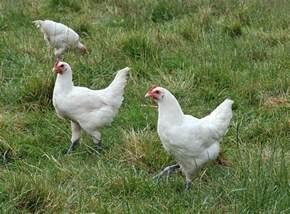 poulet wikip 233 dia