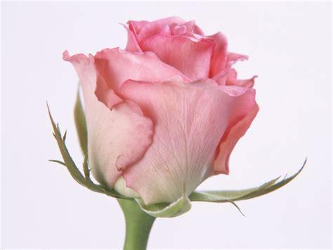 rose wallpaper for mac 1024x768 pink rose desktop pc and mac wallpaper