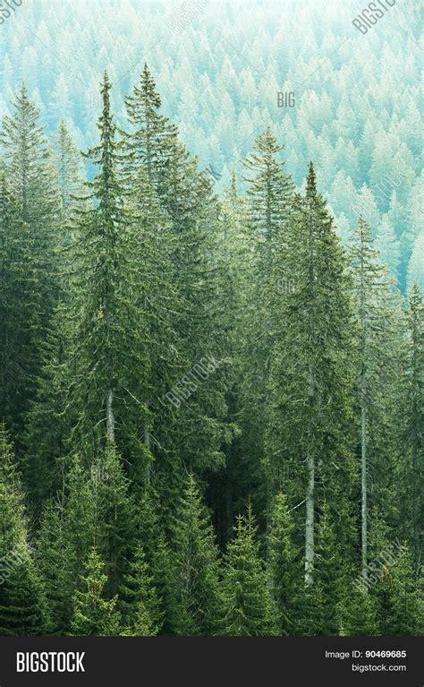fir green stock photo 169 fritzundkatze 4164584 green coniferous forest old spruce image photo bigstock