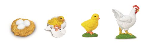 life cycle of a chicken photo cut out image gallery life cycle chicken