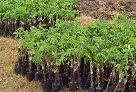 pengusaha pembekal anak pokok ubi kayu cassava