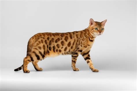 Do Bengal Cats Shed is it true bengal cats shed less than other cats pets4homes