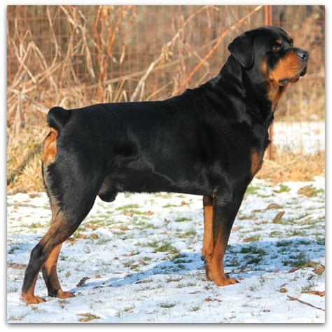 rottweiler socialization rottweiler guard dogs are they big and scary or just big teddy bears