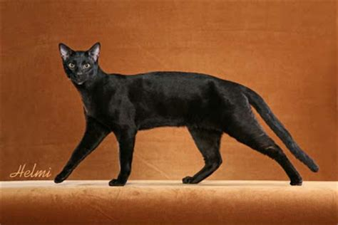black savannah cat cats et cetera from helmi flick good luck with black cats