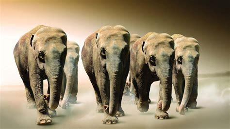 amazing elephant group hd animals  birds wallpapers