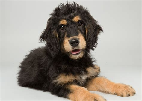 bernese mountain and poodle bernese mountain miniature poodle mix