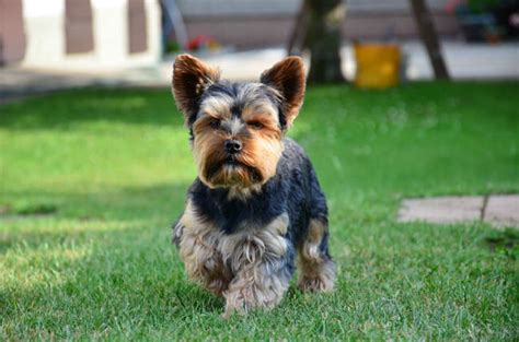 best food for yorkies puppies best food for terriers top 3 brands