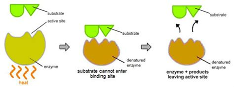 a protein can become denatured when when heat is added to an enzyme it denatures denatured