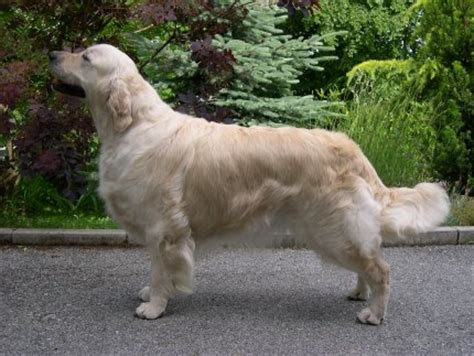 largest golden retriever golden retrievers v i m team