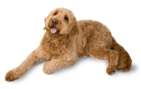 mini goldendoodle how big do they get goldendoodle breed information pictures