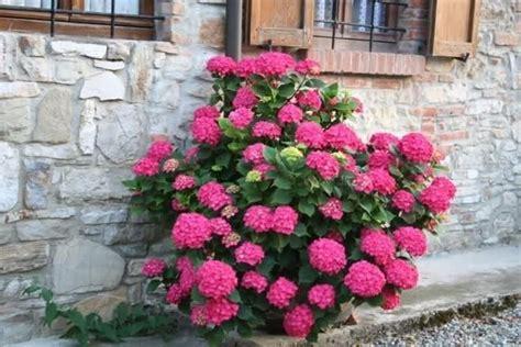 ortensie vaso ortensia in vaso piante da giardino vaso di ortensia