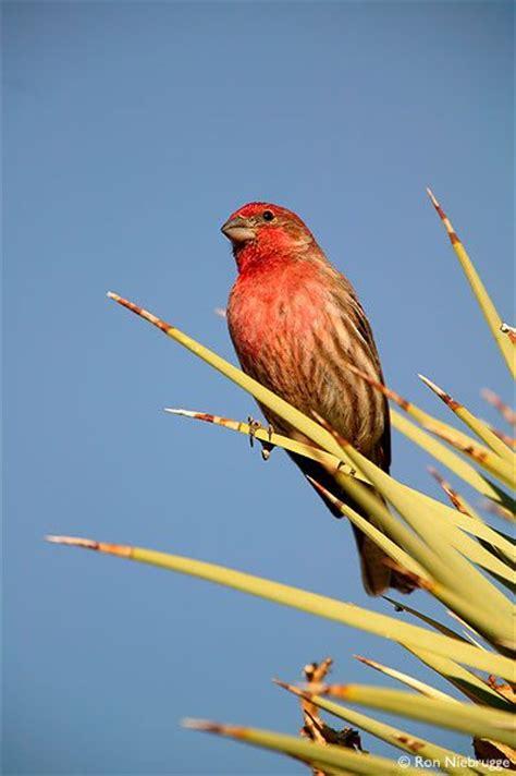 house finch mojave desert california a beautiful bird