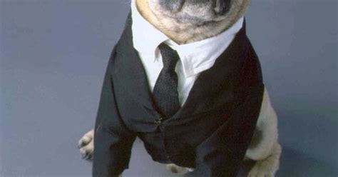 pugs in suits pugs in suits smushed nosed dogs animal and animal