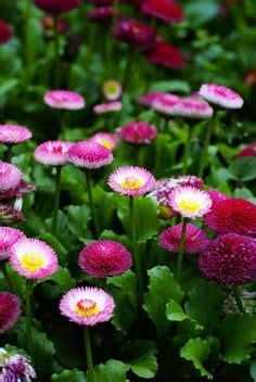 Bibit Bunga Saffron sweet williams mix dianthus barbatus winter sown 1 22 12 seeds