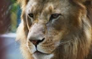 imagenes de leones y tigres peleando varios mitos sobre tigres contra leones 187 tigrepedia