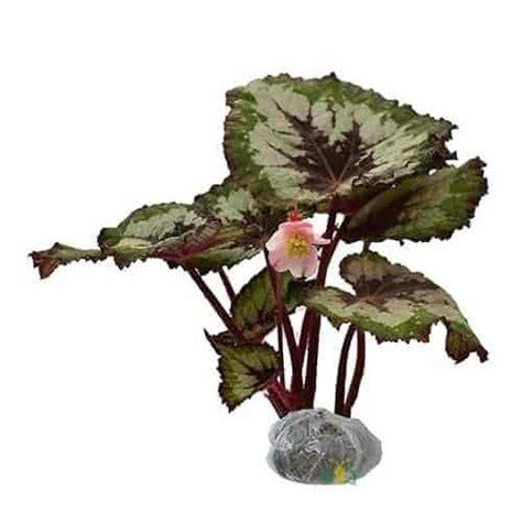 jual tanaman begonia rex bibit