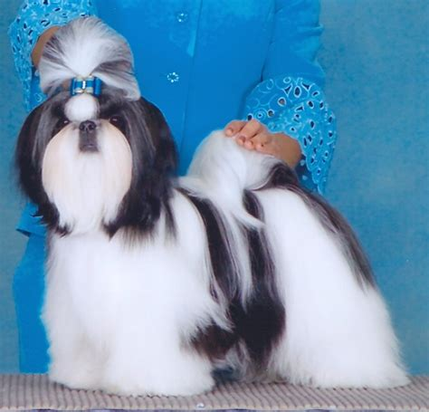 wenrick shih tzu top 10 shih tzu puppies 2010