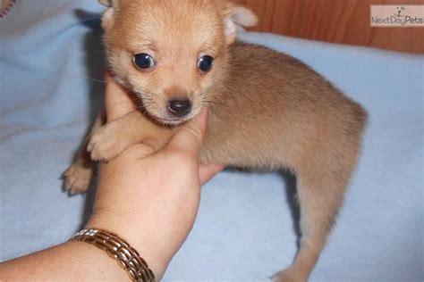 teacup pomchi puppies for sale pomchi puppy for sale near houston 642c2c55 3c81