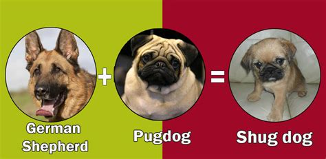 pug and cross top 10 cross breeds designer of pug by dogmal
