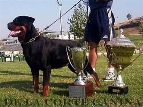 world rottweiler oscar master field trofej ziger 2016 adrk edgar h doovi