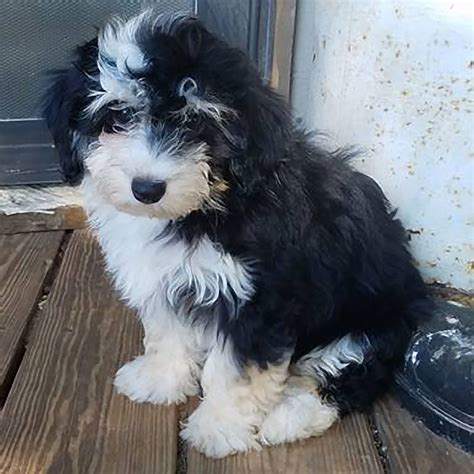 about havanese puppies about havanese puppies 183 roughedges kennel