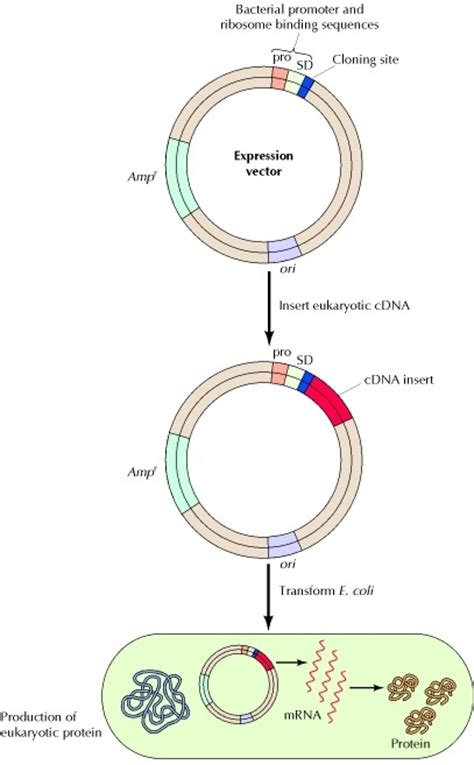 protein of bacteria how does a chimeric plasmid introduced in to bacteria