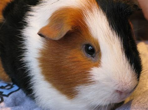 vitamin c vegetables for guinea pigs foods that guinea pigs should and should not eat pethelpful