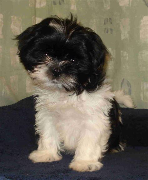 shih tzu for sale shih tzu for sale great yarmouth norfolk pets4homes