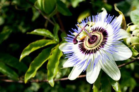 fiori significato famiglia significato dei fiori la passiflora pollicegreen